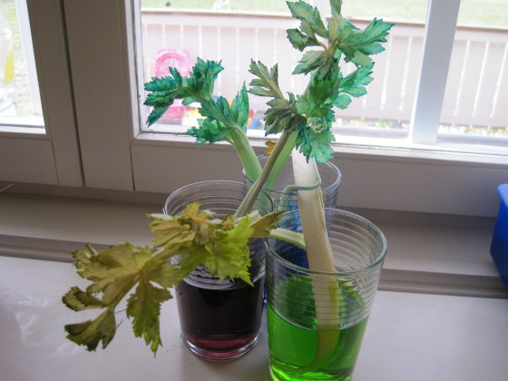 Celery experiment (okay, not really growth, but kind of too..!)