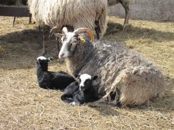 More lambs...