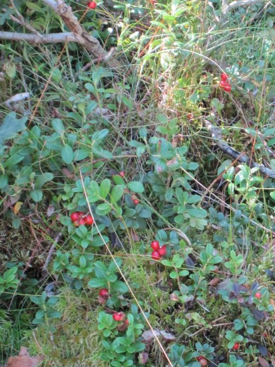 Lingon berries